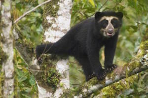 Peruvian spectacled bear